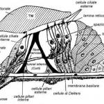 Organo del Corti