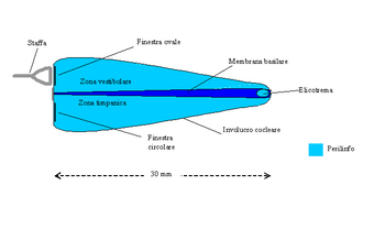 Membrana Basilare Srotolata