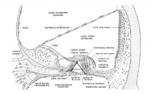 Section of cochlear membranae