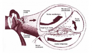 Section of cochlear scalae