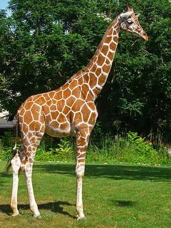 Giraffa_lo