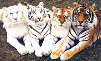 [cml_media_alt id='2133']tigri[/cml_media_alt]