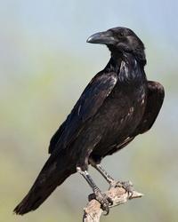 [cml_media_alt id='2583']raven-200[/cml_media_alt]